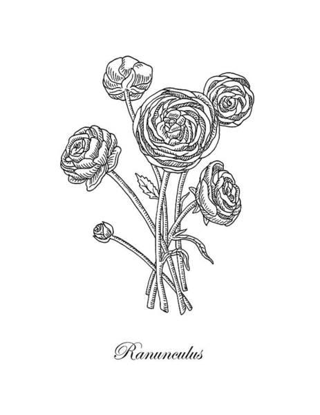 Painting - Ranunculus Flower Botanical Drawing  by Irina Sztukowski