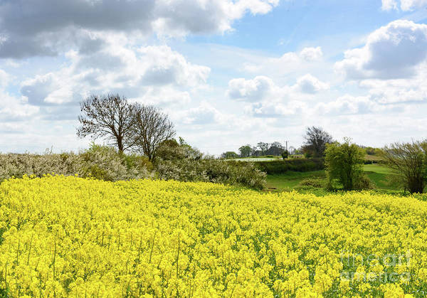 Photograph - Rape Seed Field by Colin Rayner