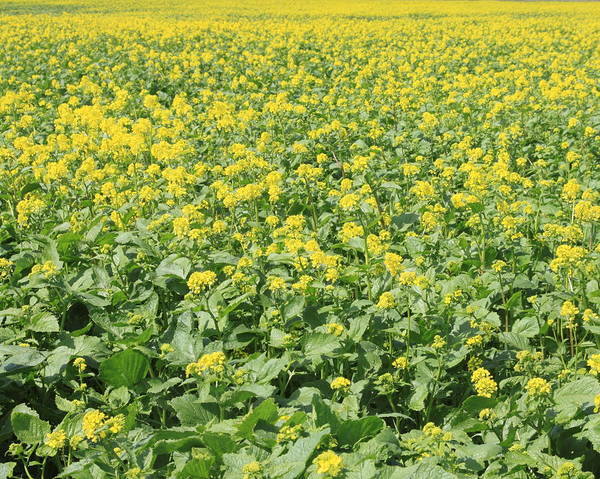 San Joaquin Valley Photograph - Rapeseed Tracy Ca by Troy Montemayor