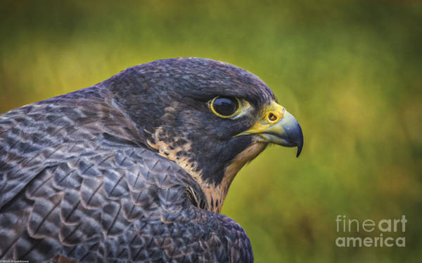 Peregrine Photograph - Raptor 1 by Mitch Shindelbower