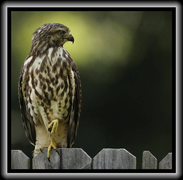 Photograph - Raptor by John Nickerson