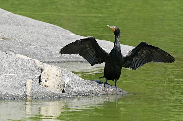 Double-crested Cormorant Photograph - Rare North American Bird by Diana Angstadt