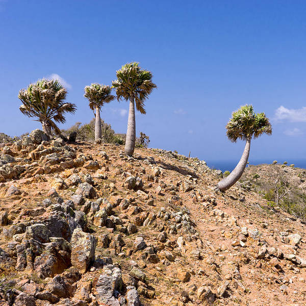 Photograph - Rare Palm Tress Curacao by For Ninety One Days