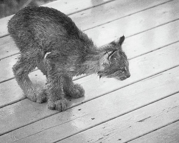 Photograph - Crouching Kitty by Tim Newton