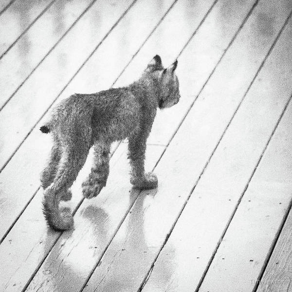 Photograph - Lynx Kitty Stroll by Tim Newton