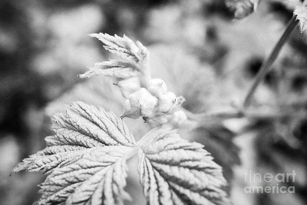 Wall Art - Photograph - raspberry flower buds growing in spring in a garden UK by Joe Fox