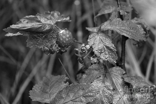 Photograph - Raspberry Patch by Ann E Robson