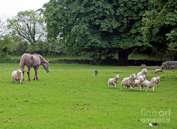 Photograph - Rounding Up The Sheep by Cindy Murphy