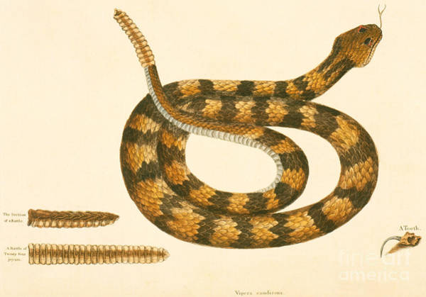 Wall Art - Drawing - Rattlesnake by Mark Catesby