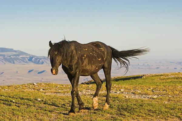 Photograph - Raven- A Wild Stallion by Mark Miller