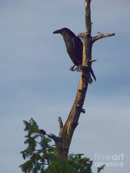 Photograph - Raven by Charles Robinson