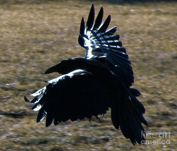 Photograph - Raven Flight by Michael Smith-Sardior