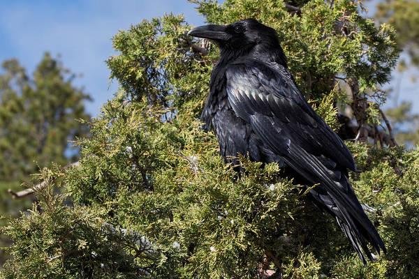 Bishop Hill Photograph - Raven In A Juniper At Bryce by Kathleen Bishop