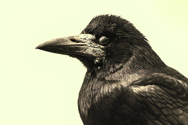 Game Of Thrones Photograph - Raven by Martin Newman