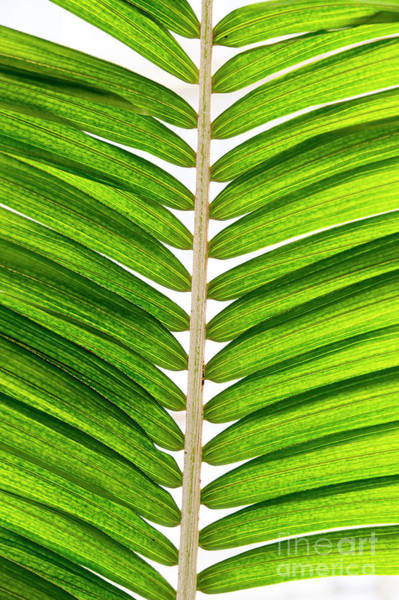Fronds Photograph - Ravenea Moorei Frond by Tim Gainey