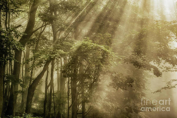 Photograph -  Rays Of Light In Forest by Thomas R Fletcher