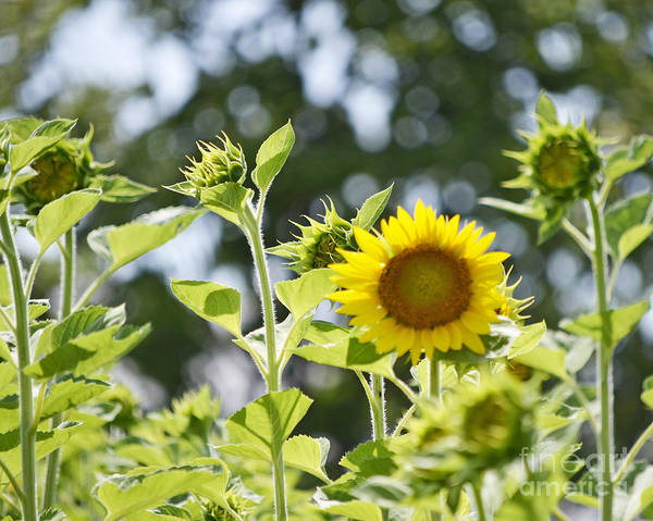 Photograph - Rays Of Sunflower by Traci Cottingham