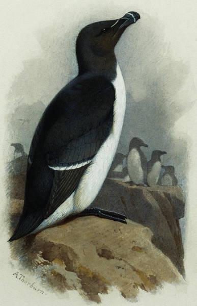 Razorbill Painting - Razorbill by Archibald Thorburn