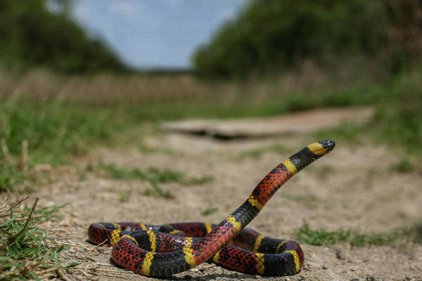 Photograph - Reach For The Sky Texas Coral Snake by Kyle Findley