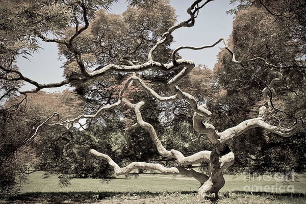 Kammerer Wall Art - Photograph - Reach Out - Japanese Maple Tree by Colleen Kammerer