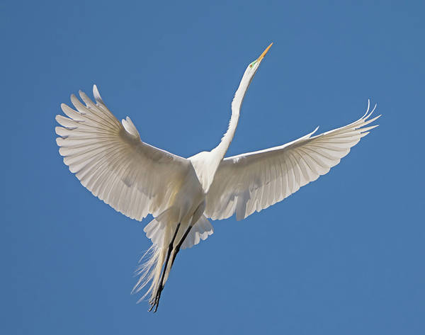 Photograph - Elegant Flight by Loree Johnson