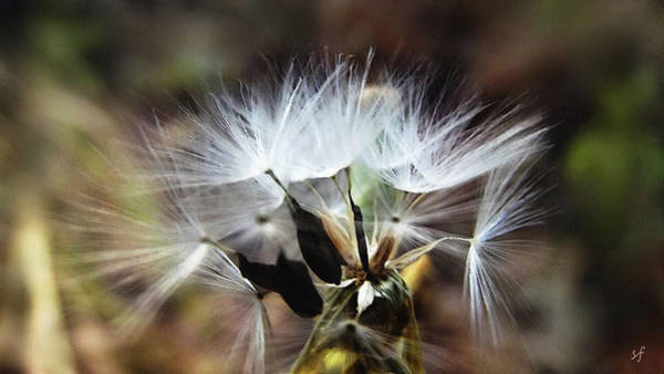 Digital Art - Ready To Fly... Salsify Seeds by Shelli Fitzpatrick