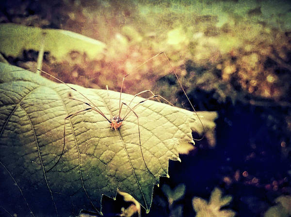 Harvestman Photograph - Realm Of The Harvestman by Susan Maxwell Schmidt
