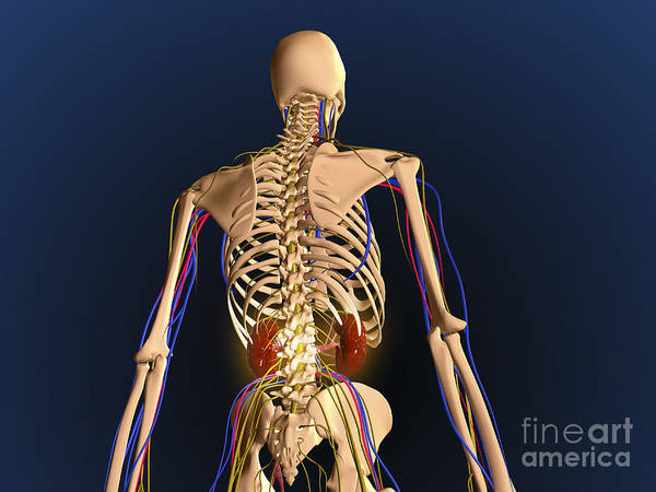 Lumbar Plexus Digital Art - Rear View Of Human Skeleton Showing by Stocktrek Images
