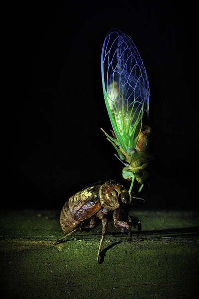 Cicada Wall Art - Photograph - Rebirth by Jessica Brawley