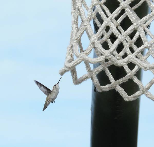 Colibri Photograph - Guarding The Net - Photography By Bill Tomsa by Bill Tomsa