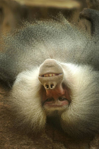Habenero Photograph - Reclining Baboon by Richard Henne