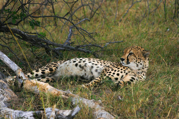 Photograph - Reclining Cheetah 2 by Karen Zuk Rosenblatt
