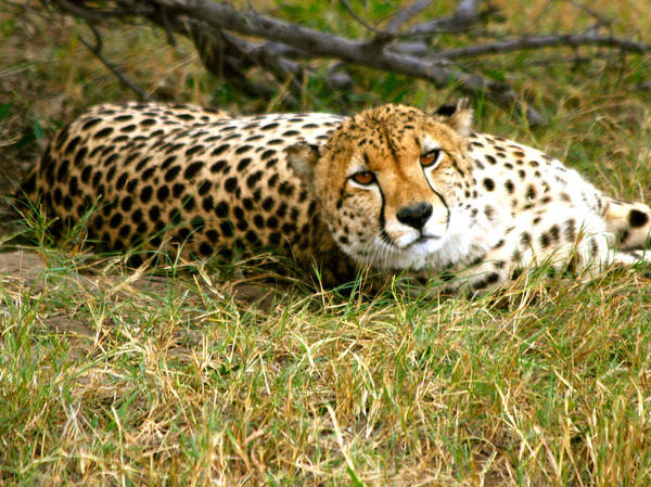 Photograph - Reclining Cheetah by Karen Zuk Rosenblatt