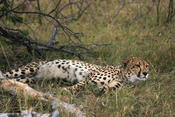 Photograph - Reclining Cheetah Watching by Karen Zuk Rosenblatt