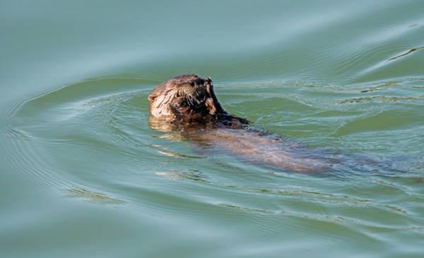 Photograph - Reclining Otter by Loree Johnson