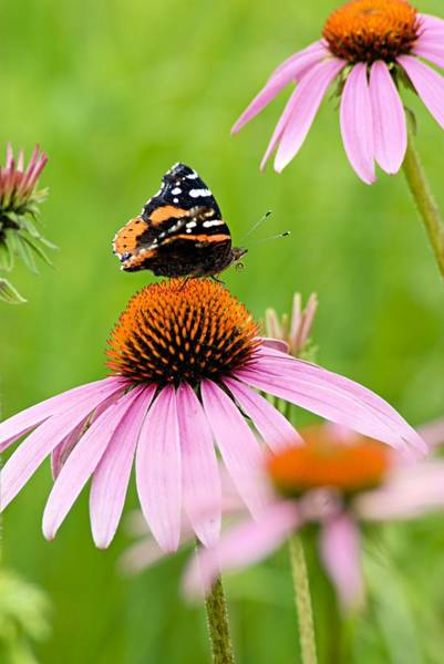 Photograph - Red Admiral And Cone Flowers by Larry Ricker