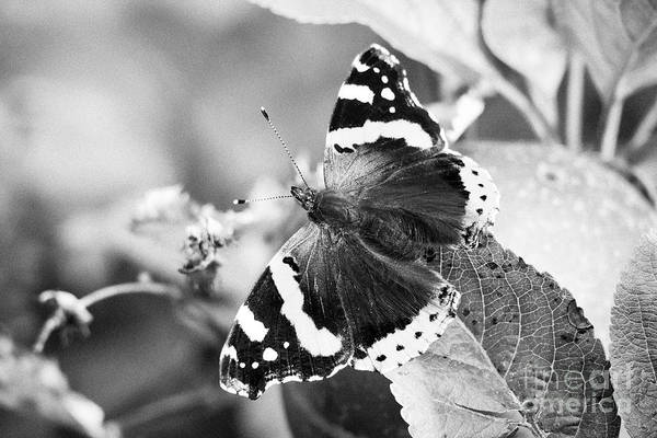 Wall Art - Photograph - Red Admiral Butterfly Home Grown Discovery Apples In A Garden In The Uk by Joe Fox