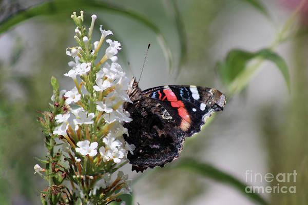 Photograph - Red Admiral Butterfly In Garden by Karen Adams