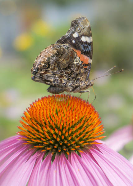 Wall Art - Photograph - Red Admiral Butterfly On Coneflower by Jim Hughes