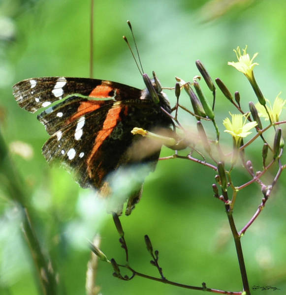 Photograph - Red Admiral In Command by Sally Sperry