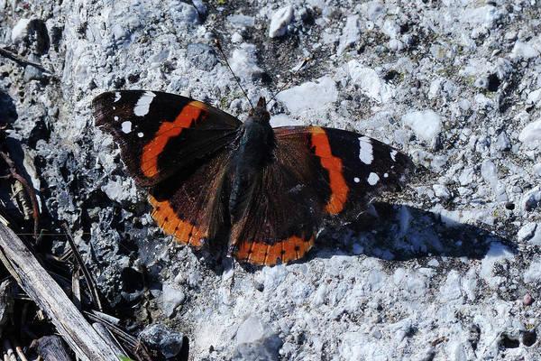 Photograph - Red Admiral Butterfly by Phil Banks