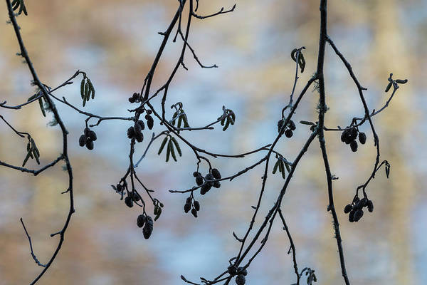 Photograph - Red Alder In Winter by Robert Potts