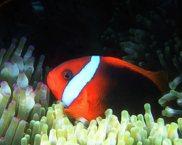 Amphiprion Melanopus Photograph - Red And Black Anemonefish, Great Barrier Reef by Pauline Walsh Jacobson