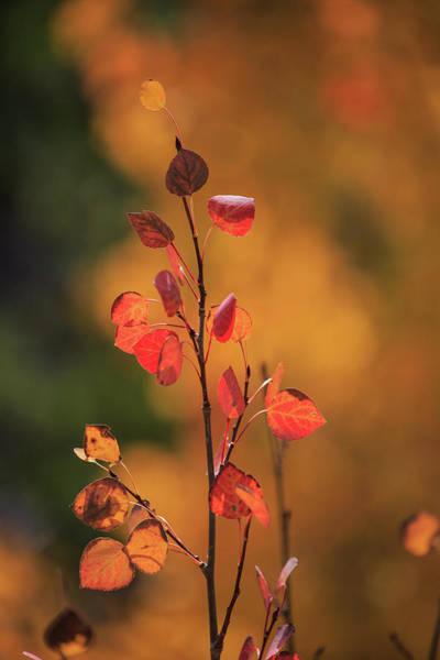 Photograph - Red And Gold by David Chandler