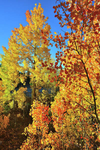 Photograph - Red And Golden Aspens In Dillon Co by Ray Mathis