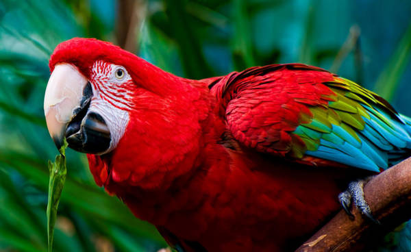 Photograph - Red And Green Macaw by Ginger Wakem
