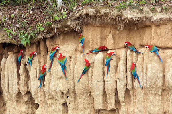 Photograph - Red And Green Macaws Eating Minerals by Aivar Mikko
