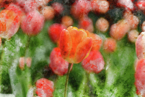 Photograph - Red And Orange Tulip by Brandon Bourdages