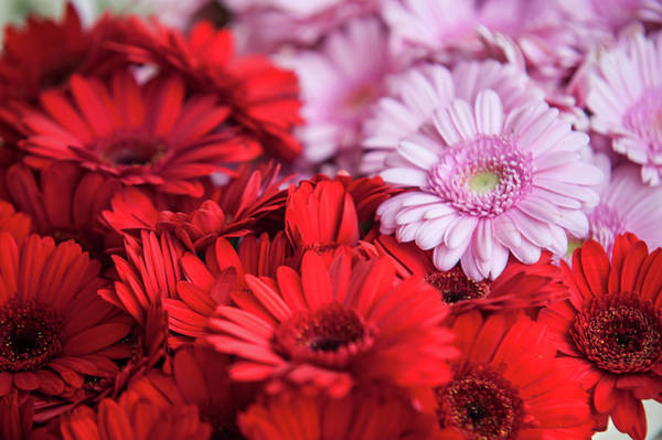 Rights-managed Wall Art - Photograph - Red And Pink Gerberas Display by Jenny Rainbow