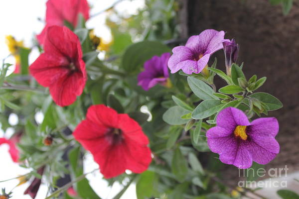 Photograph - Red And Purple Petunias by Donna L Munro